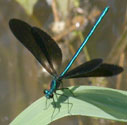 Ebony Jewelwing photo by Ann Johnson