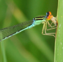 Rainbow Bluet photo by Ann Johnson
